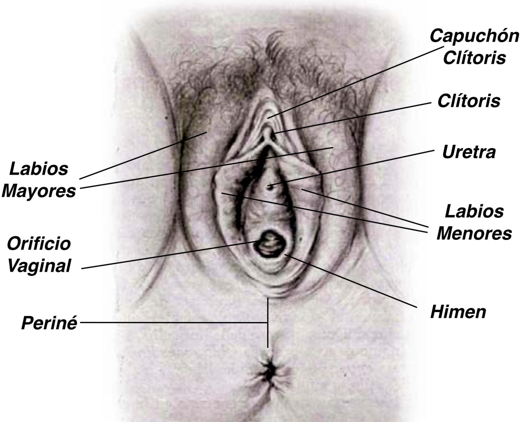 Anatomía general del aparato genital femenino